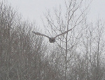 Picture of owl flying